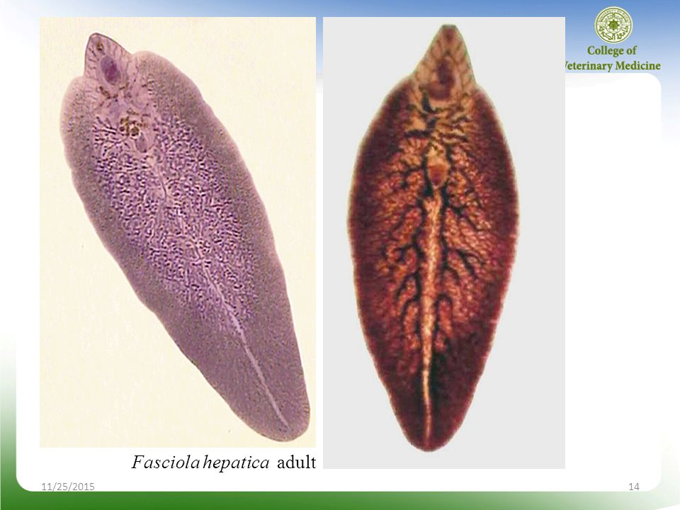 Phylum Platyhelminthes Class Trematoda Ppt Video Online