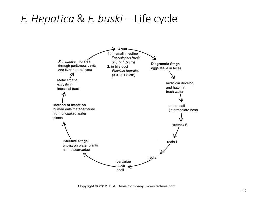 Digenea trematoda flukes ppt video online download 9 f hepatica f buski life cycle pooptronica Image collections