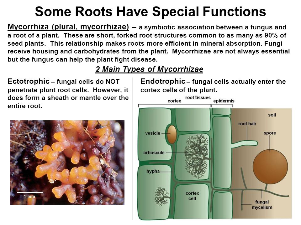 The Root System. - ppt video online download