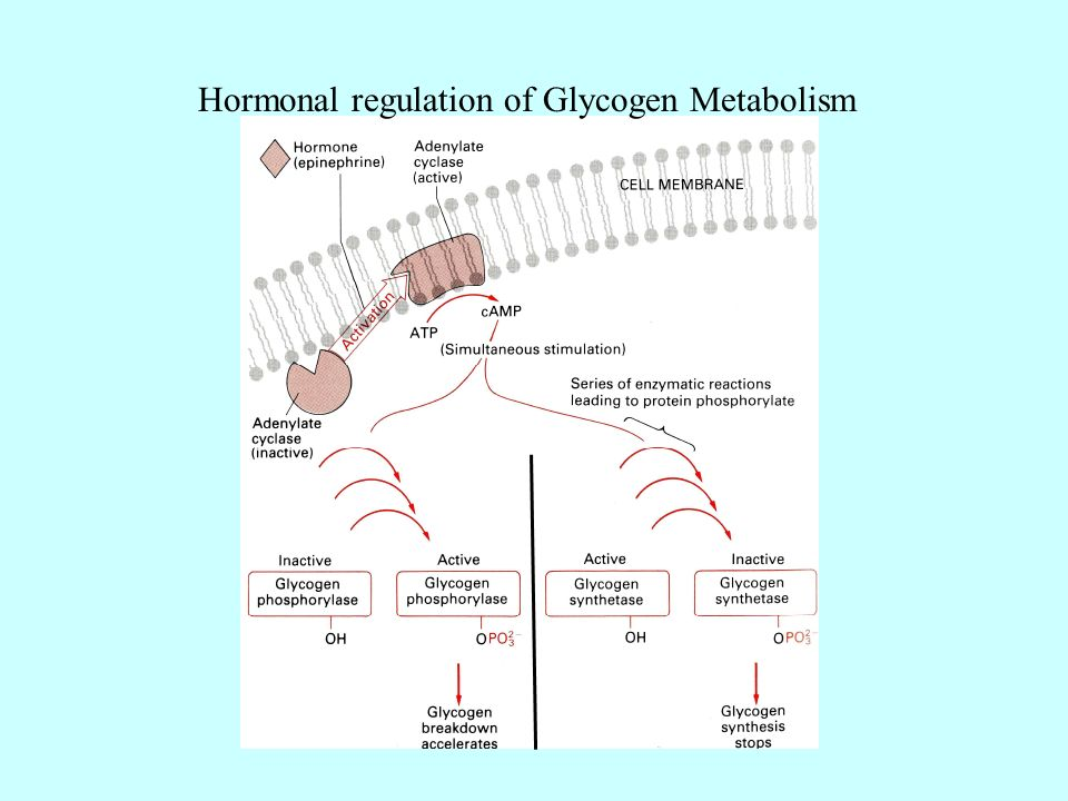 hormones and regulation of metabolism The pancreas is a digestive organ in that all its functions relate to digestion and the regulation of pancreas in digestion and sugar metabolism hormones as.