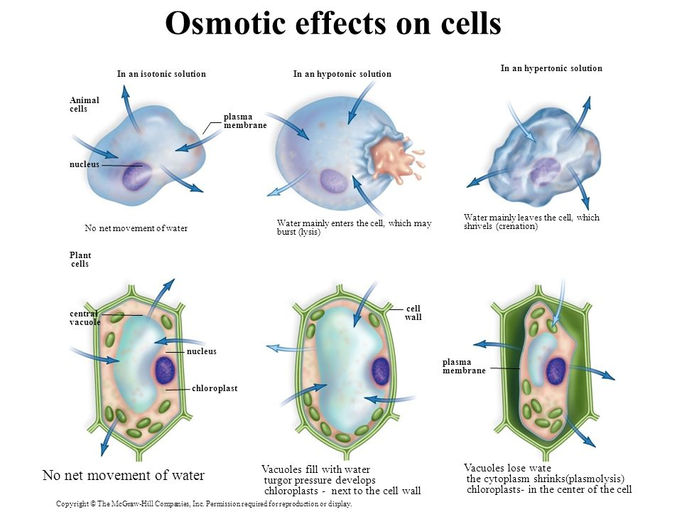 effects of osmosis and diffusion on