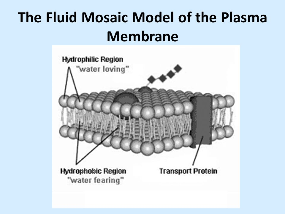 fluid mosaic model of plasma membrane The fluid mosaic model of the cell membrane and explain how the four macromolecules come together to form cell membranes explain why cells have membranes identify the specific parts of plasma membranes in a diagrams: carrier protein, channel protein, enzyme, transport proteins, carbohydrate.