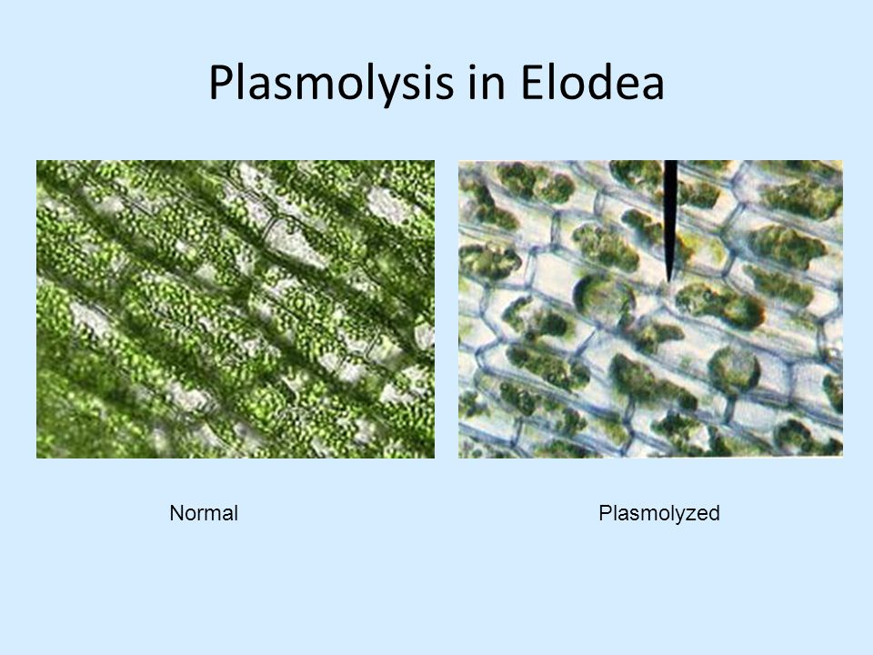 plasmolysis in plant cells lab report Inside the cells and the plant can no longer support itself against the cytoplasm of this cell has shrunken in a process called plasmolysis osmosis demo lab.
