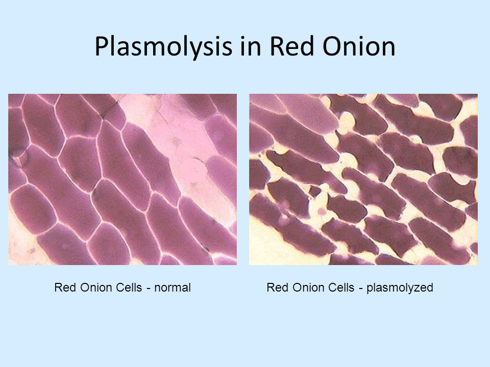 lab report plasmolysis onion Part d onion cell plasmolysis 20 study questions 21 instructor's guidelines  this experiment is designed for 10 lab groups store entire experiment at room.