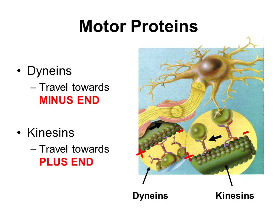 Introduction Unit 8 Cytoskeleton Ppt Video Online