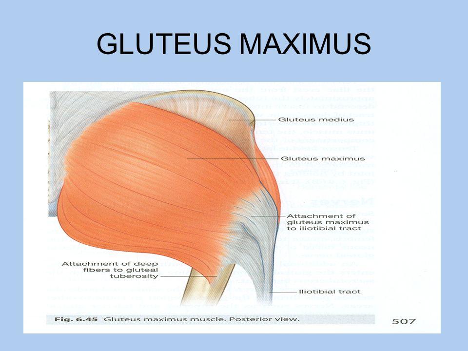 Gluteus muscle anatomy