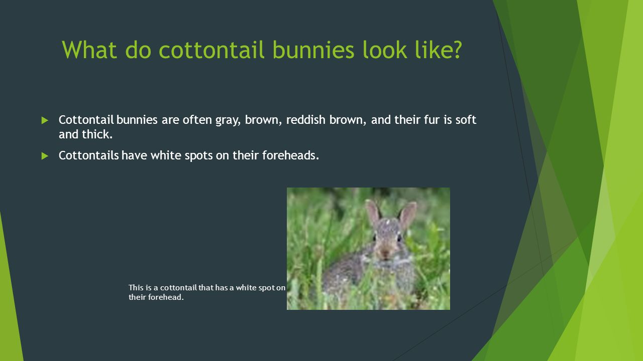 remarkable rabbits by lauren broz   ppt video online download