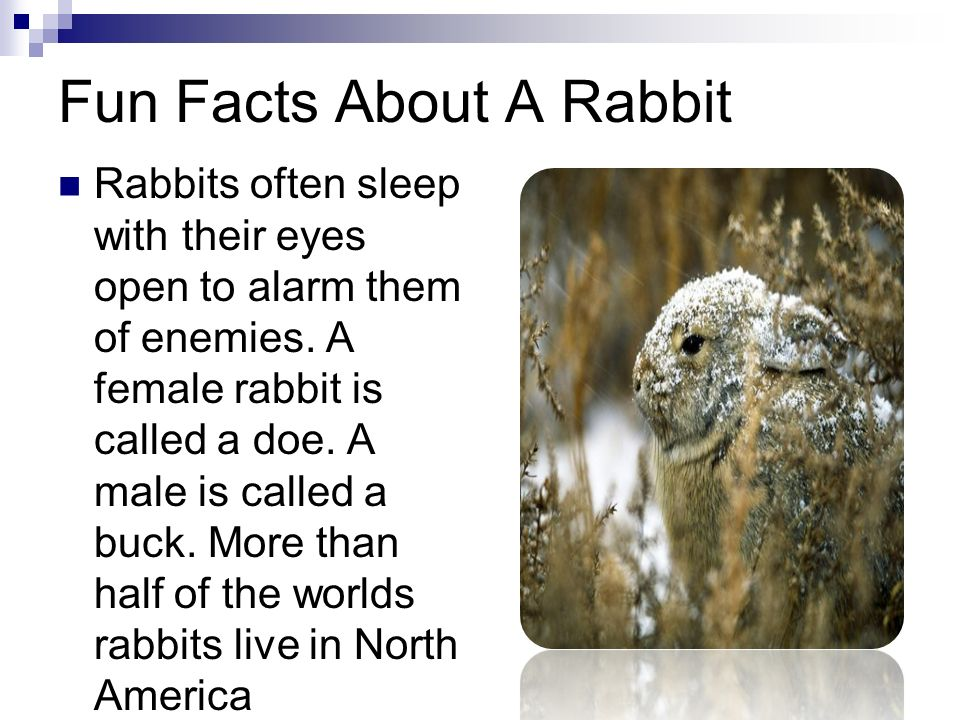 Wild rabbits cameron j ppt download for Interesting fact about america