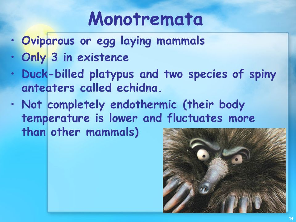 Monotremata Oviparous or egg laying mammals Only 3 in existence