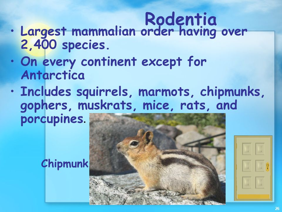 Rodentia Largest mammalian order having over 2,400 species.