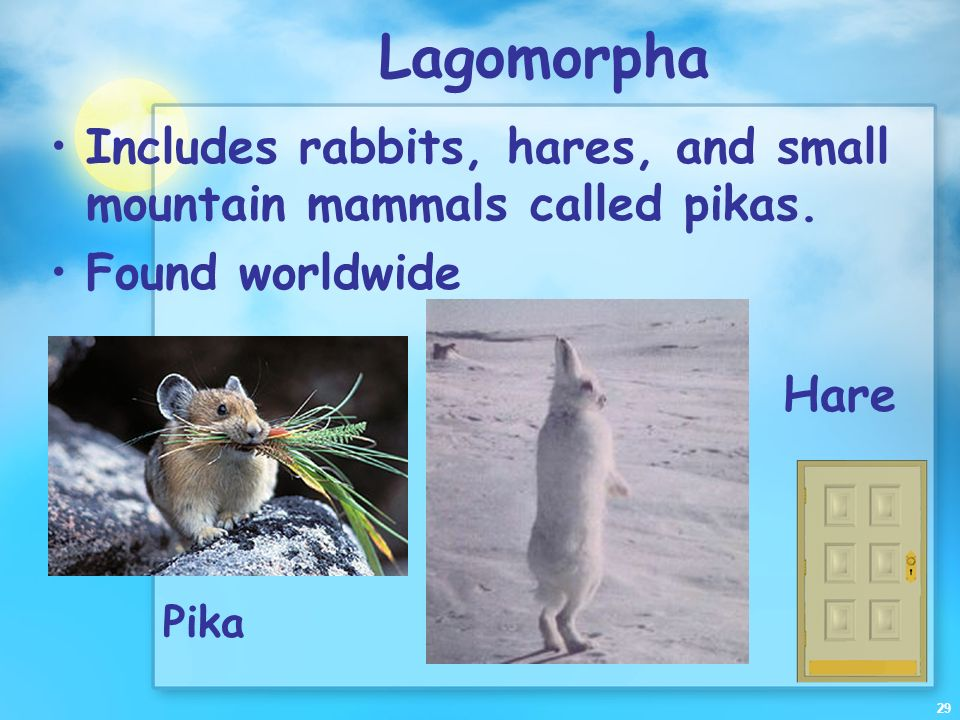 Lagomorpha Includes rabbits, hares, and small mountain mammals called pikas. Found worldwide. Hare.