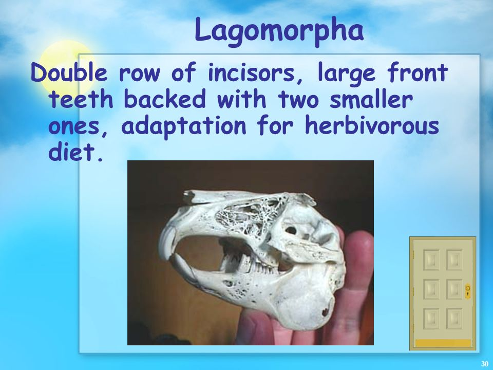 Lagomorpha Double row of incisors, large front teeth backed with two smaller ones, adaptation for herbivorous diet.