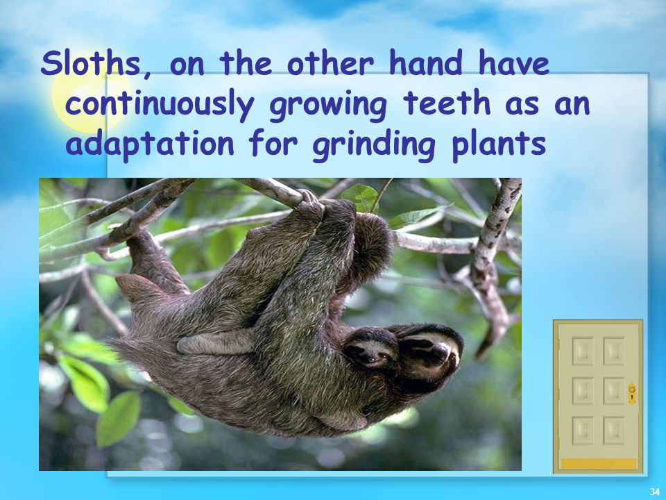 Sloths, on the other hand have continuously growing teeth as an adaptation for grinding plants
