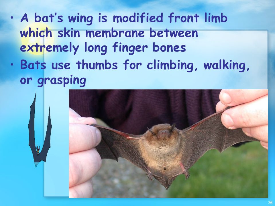 A bat's wing is modified front limb which skin membrane between extremely long finger bones