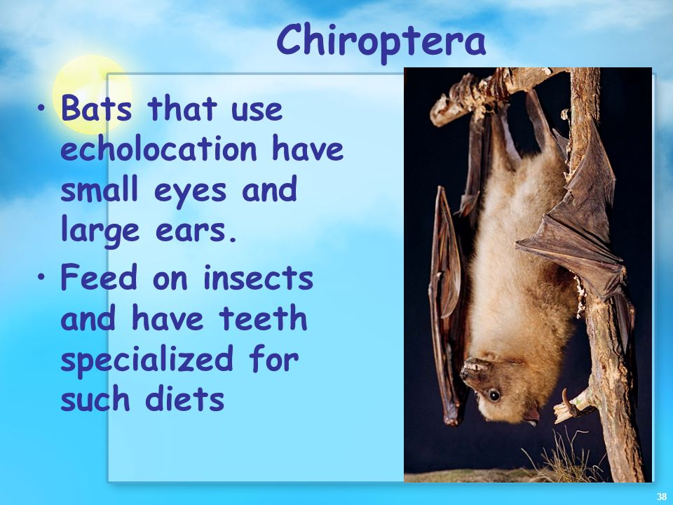 Chiroptera Bats that use echolocation have small eyes and large ears.