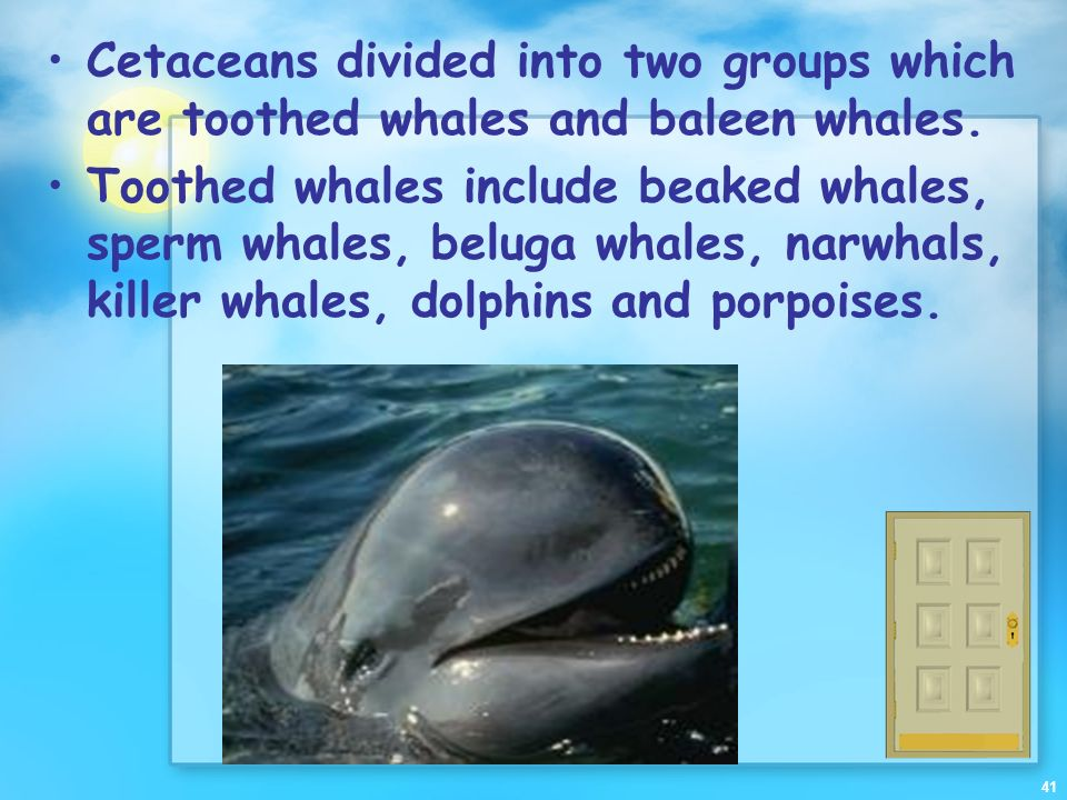 Cetaceans divided into two groups which are toothed whales and baleen whales.