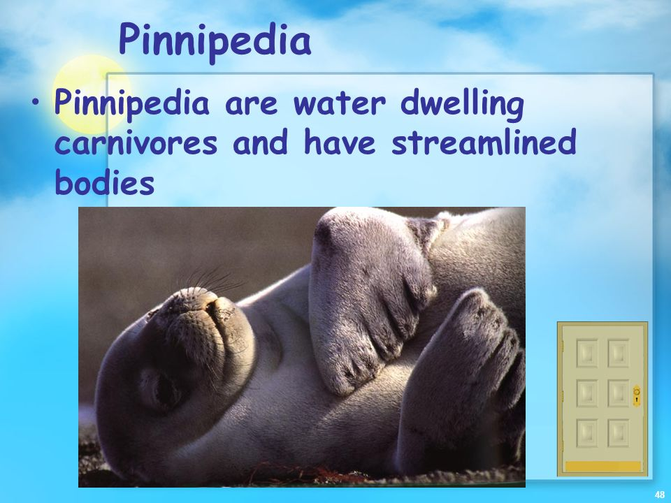 Pinnipedia Pinnipedia are water dwelling carnivores and have streamlined bodies