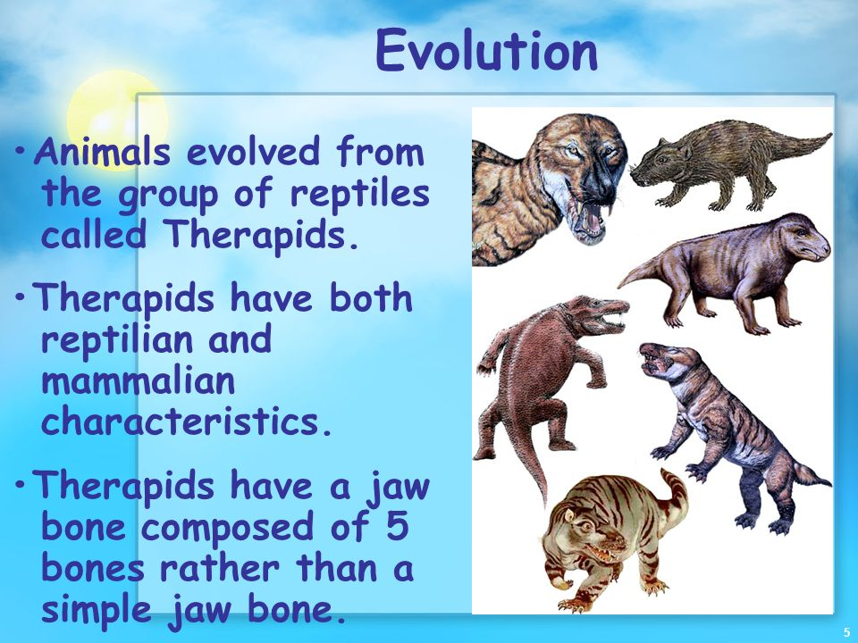 Evolution •Animals evolved from the group of reptiles called Therapids. •Therapids have both reptilian and mammalian characteristics.
