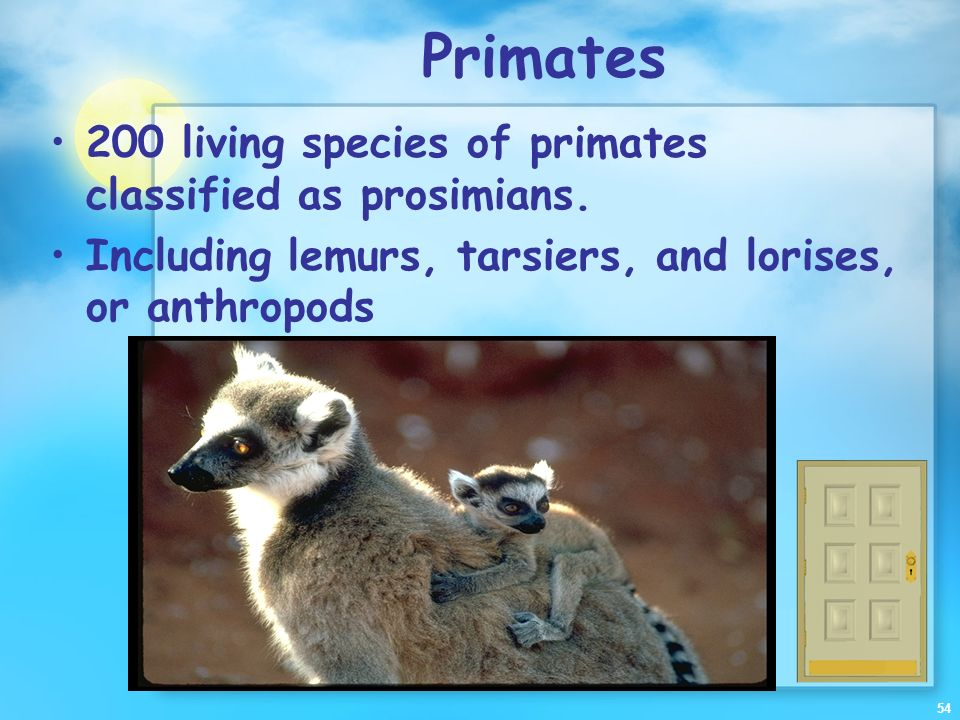 Primates 200 living species of primates classified as prosimians.