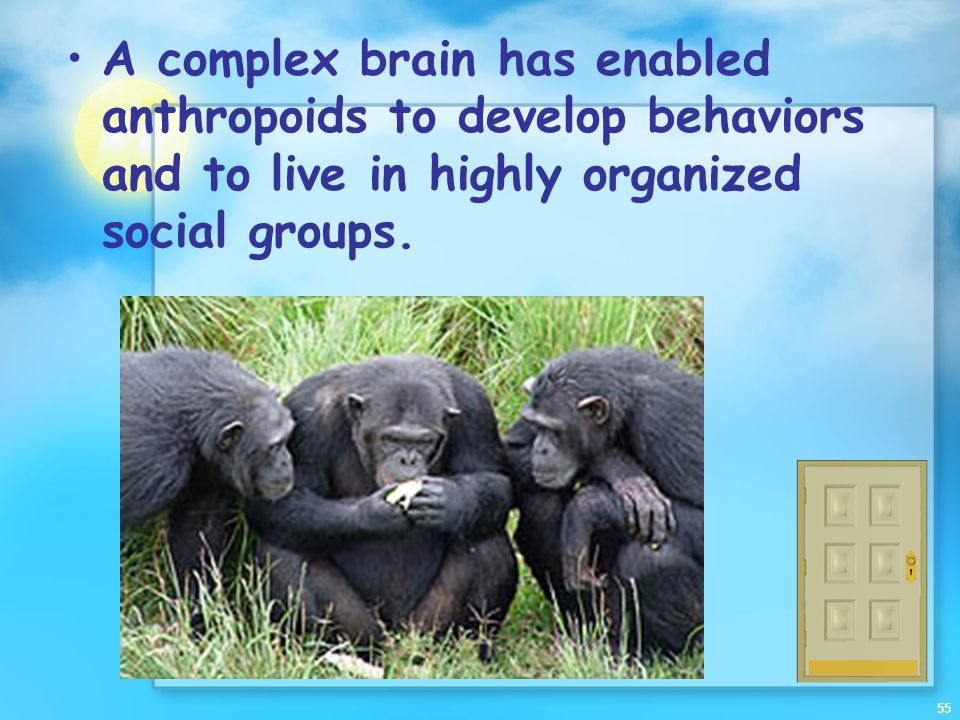 A complex brain has enabled anthropoids to develop behaviors and to live in highly organized social groups.