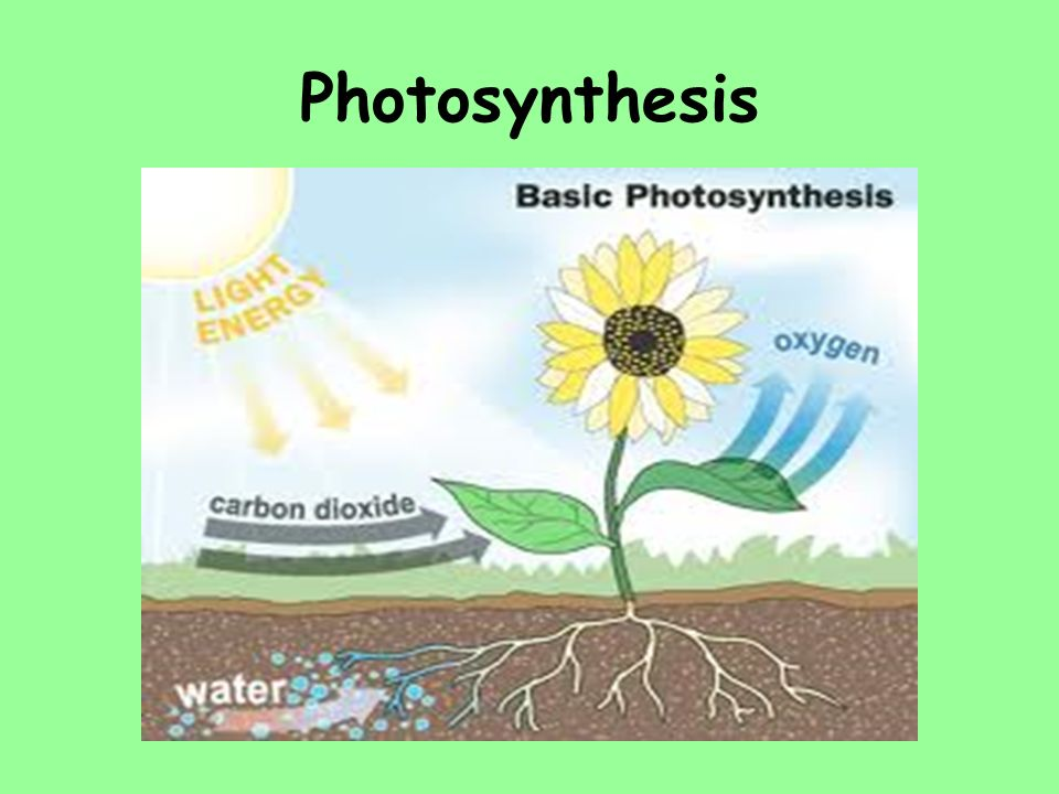 how photosythesis works Photosynthesis the light absorbed by the chlorophyll is directed to reaction centers where the photosynthesis occurs in the reaction centers, the plant transforms water and carbon dioxide into sugars and waste oxygen, which is vented through the stomata the sugar produced is distributed through the plant by a system of tiny tubes called phloem.