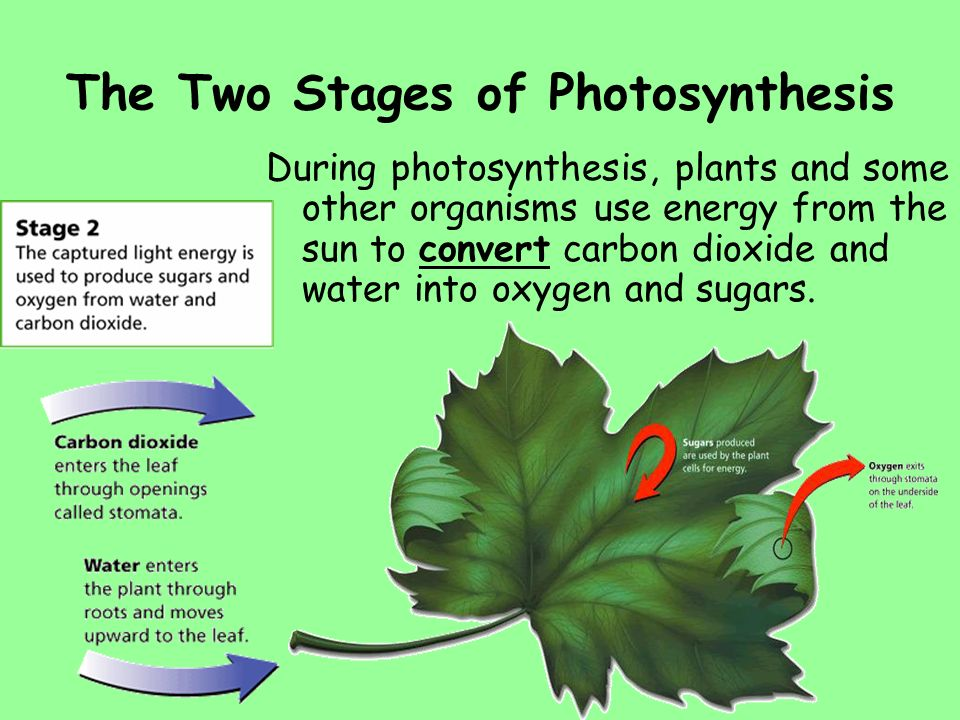 two stages of photosynthesis Section 163 photosynthetic stages and light-absorbing pigments of the stages in photosynthesis and photosynthetic stages and light-absorbing.