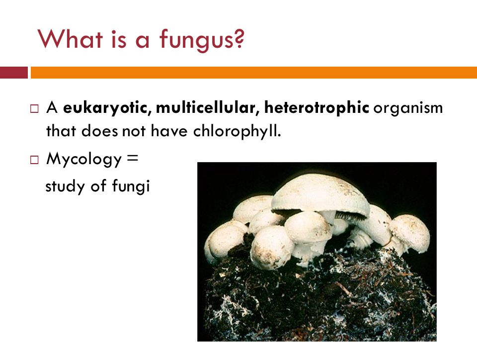 What Is A Fungus A Eukaryotic, Multicellular, Heterotrophic Organism That  Does Not Have Chlorophyll