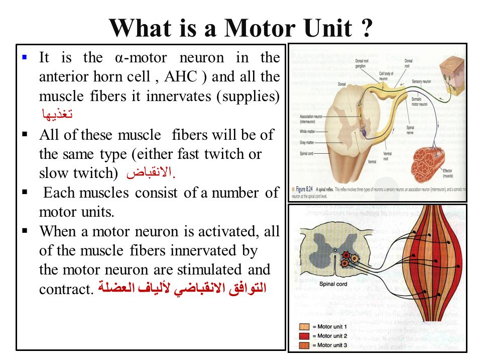 Dr aida korish assoc prof physiology ksu ppt video for What is motor neuron