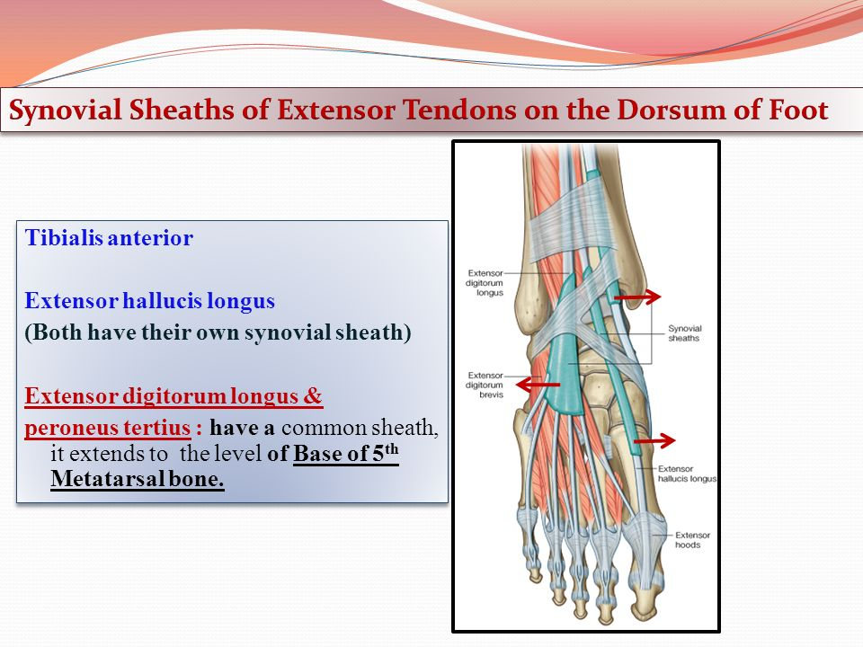 anterior, lateral compartments of the leg & dorsum of the foot, Cephalic Vein
