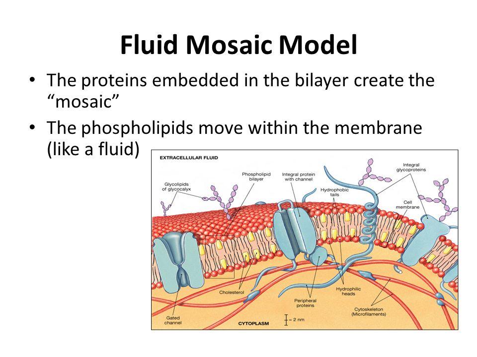 Phosphate Functional Group The Plasma Membrane Se...