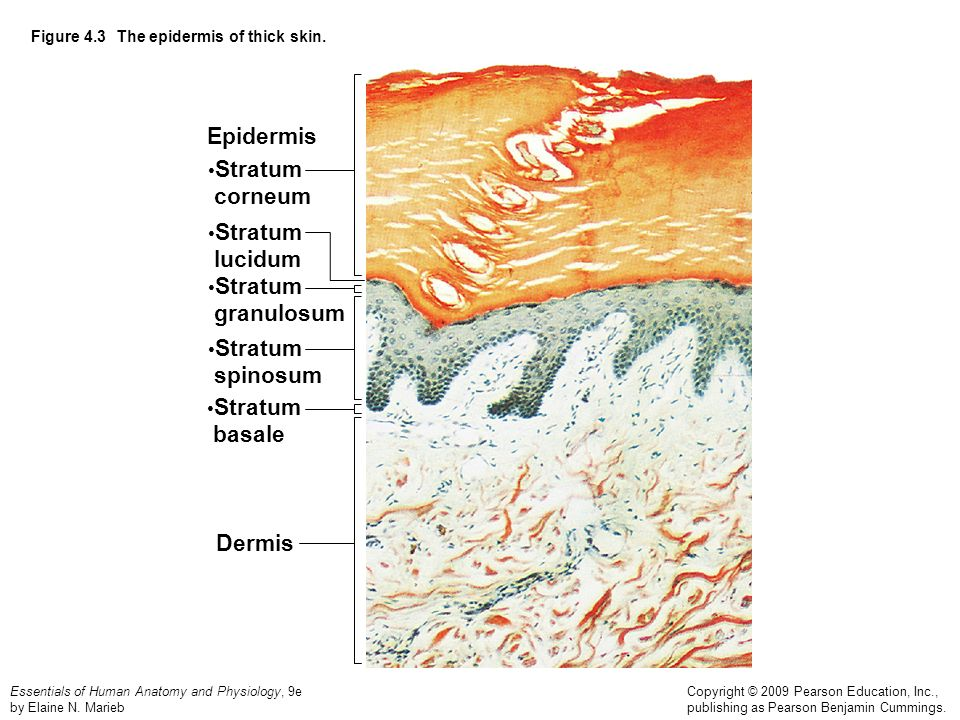 Figure 4.3 The epidermis of thick skin. - ppt video online download