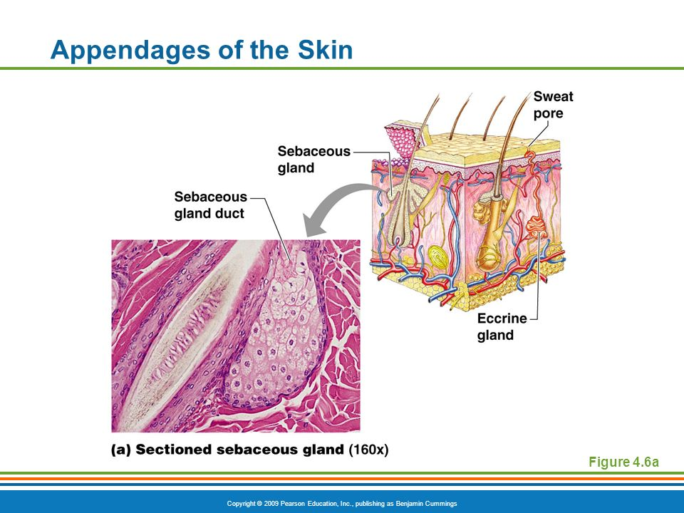 Figure 4 3 The Epidermis Of Thick Skin Ppt Video Online