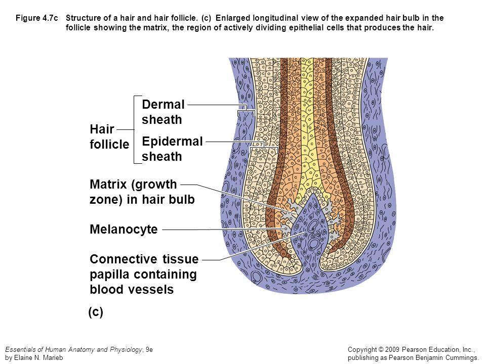 Anatomy Of Hair Growth Images - human body anatomy