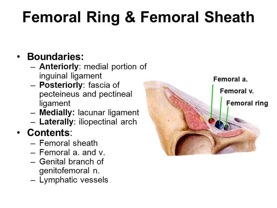 Femoral ring anatomy