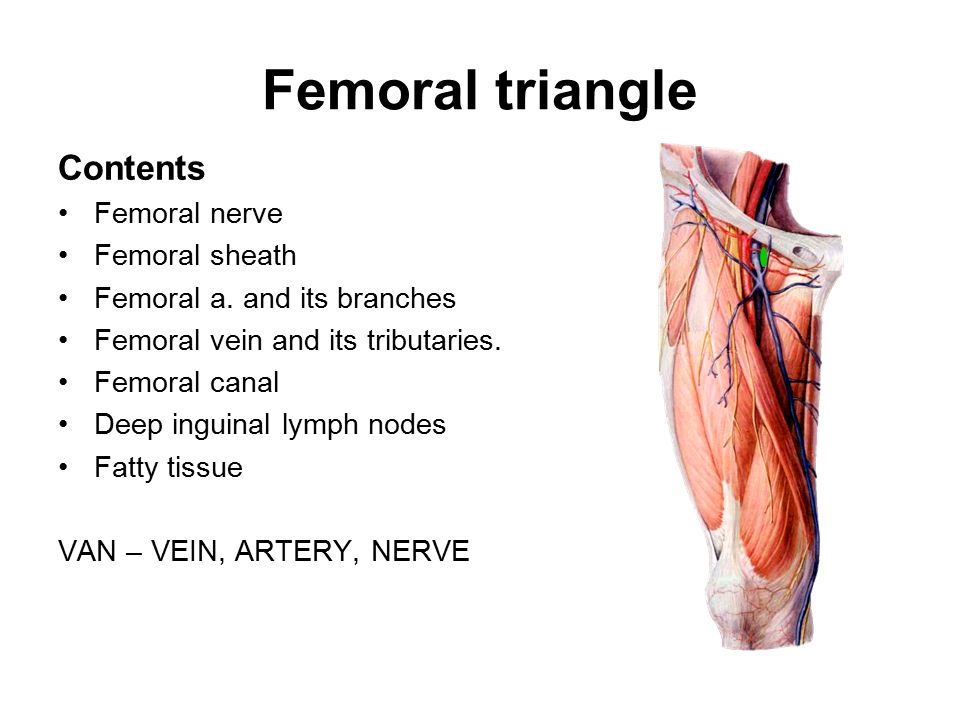 lower limb anterior compartment of the thighs & femoral triangle, Muscles