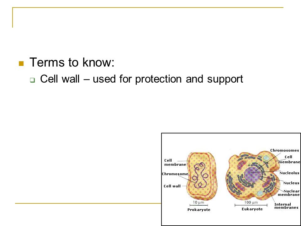 Terms to know: Cell wall – used for protection and support