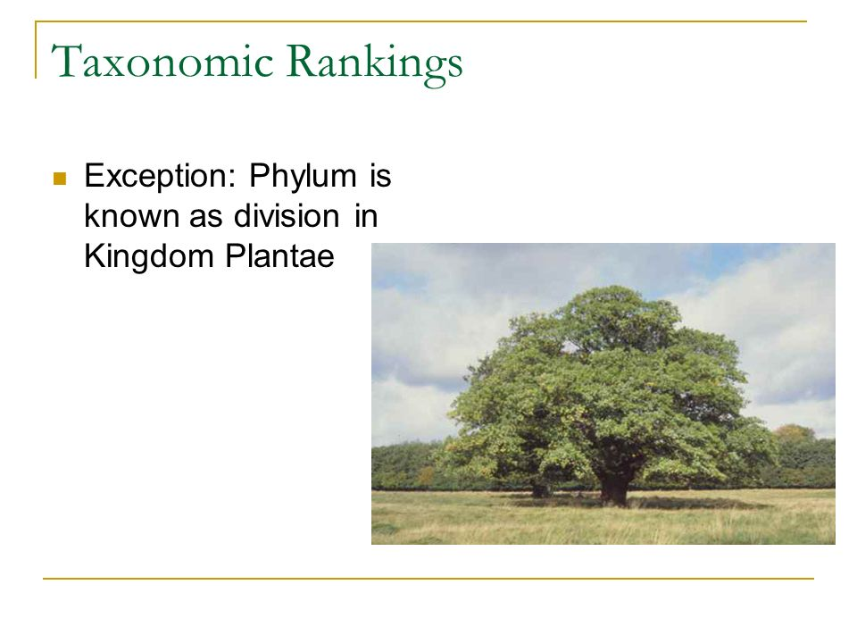 Taxonomic Rankings Exception: Phylum is known as division in Kingdom Plantae