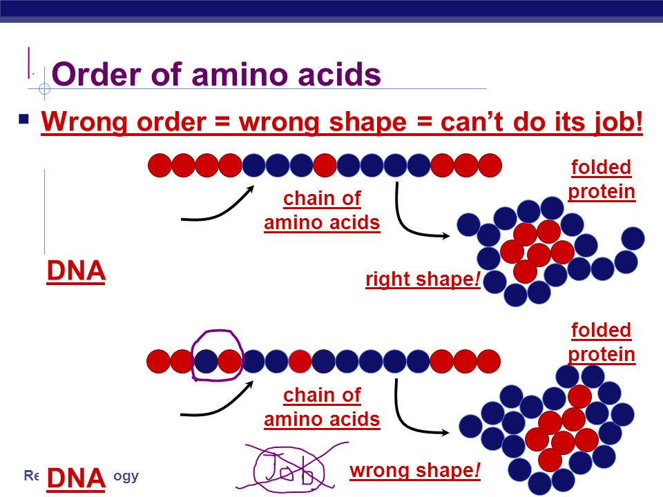 Order of amino acids Wrong order = wrong shape = can't do its job! DNA