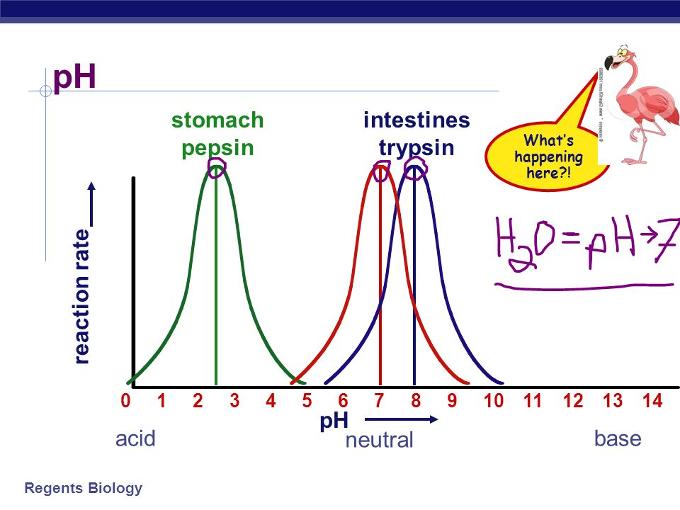 pH stomach pepsin intestines trypsin reaction rate pH acid neutral