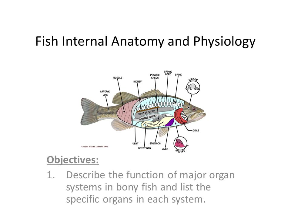 Fish Internal Anatomy And Physiology Ppt Video Online Download