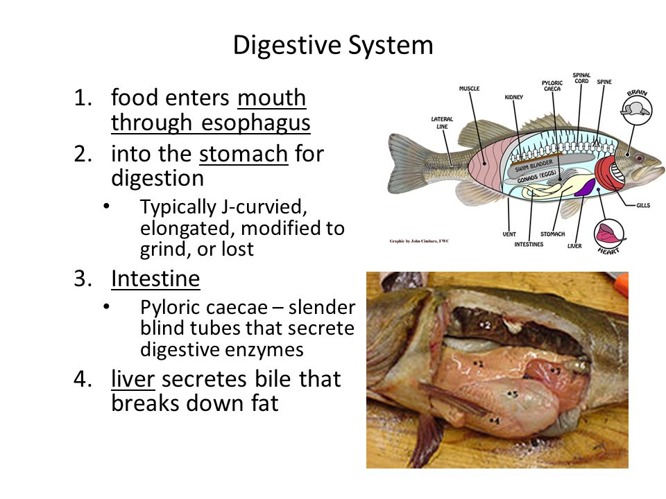 Digestive System food enters mouth through esophagus