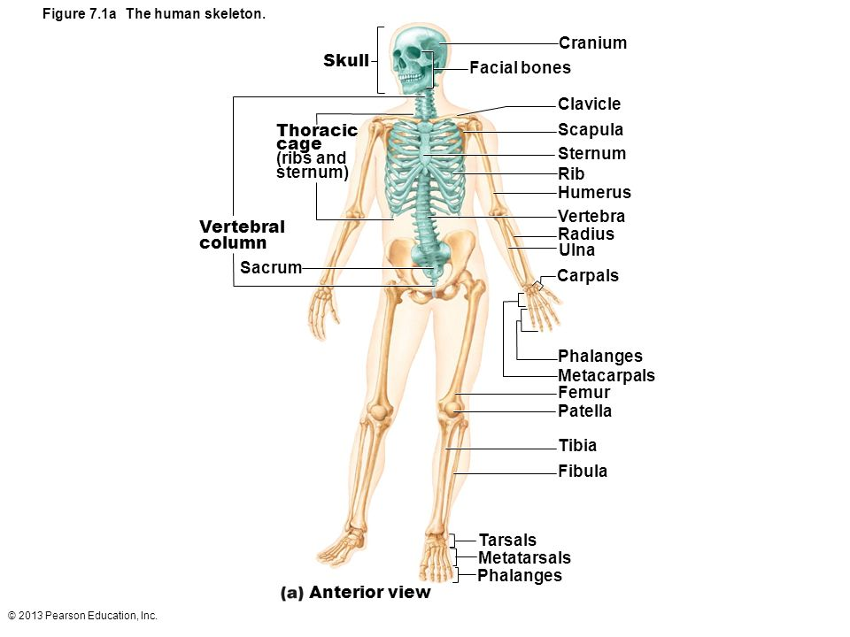 7 the skeleton: part a. - ppt video online download, Skeleton