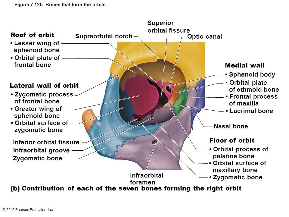 Nice Anatomy Of The Orbit Illustration - Image of internal organs of ...
