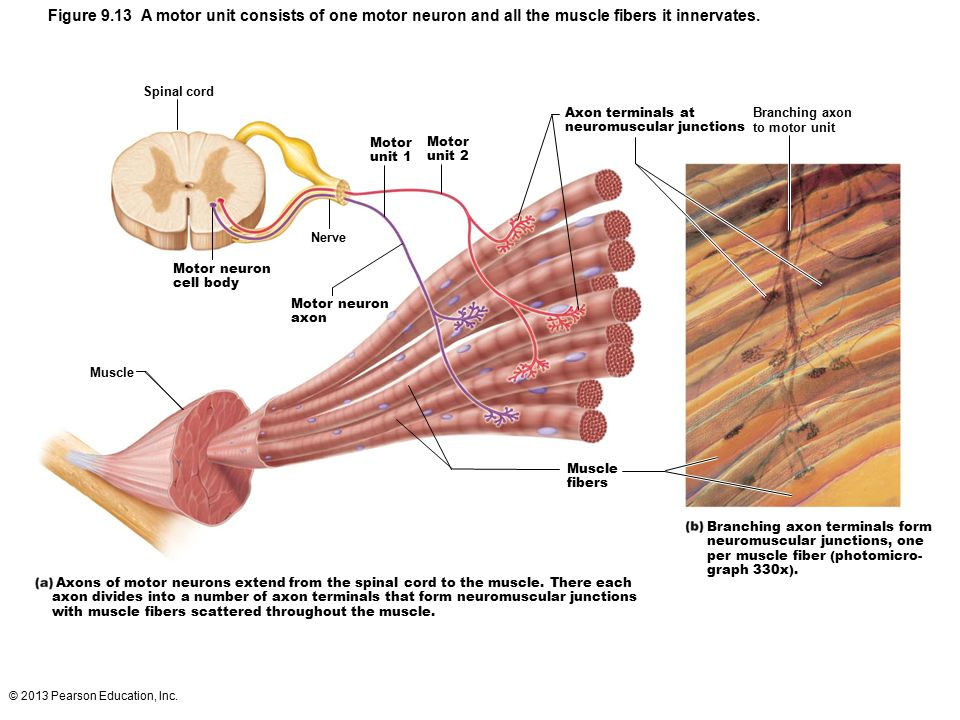 anatomy observable muscle contraction Anatomy of structures  the observable events during feeding on solid food are better described with  the ues is closed at rest by tonic muscle contraction 19, .