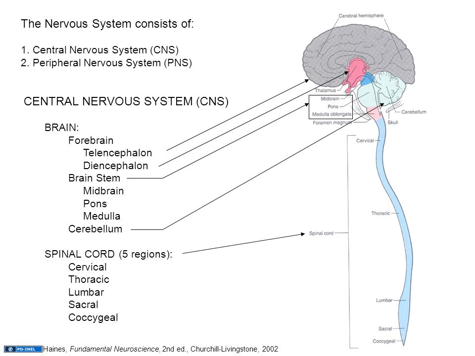the central nervous system consists The central nervous system (cns) consists of the brain and the spinal cord early in its development, the cns is a hollow tube with three interconnect.
