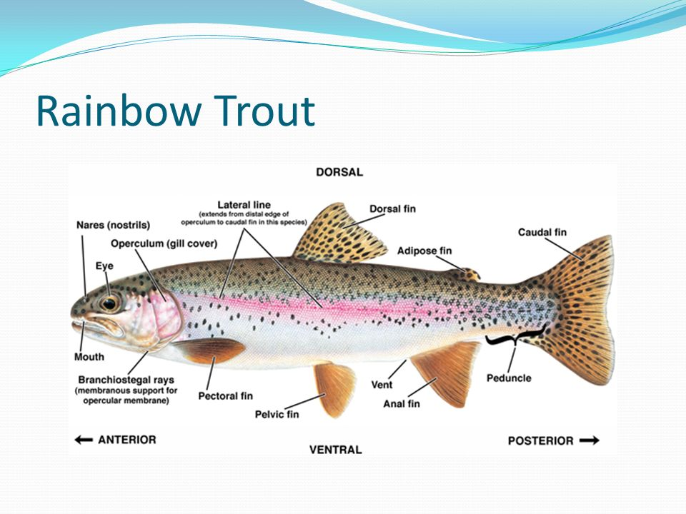 Aquatics popular species in north america ppt video for Trout fishing in america band