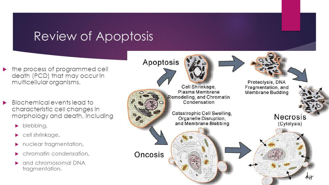 the process of apoptosis essay This report reviews about the genetic regulation of apoptosis and of apoptosis and organ development biology essay for the apoptosis process.