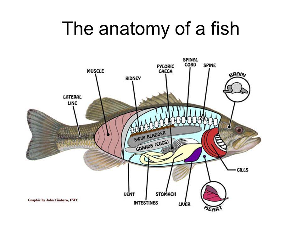 Groß Anatomy And Physiology Of Fish Bilder - Menschliche Anatomie ...
