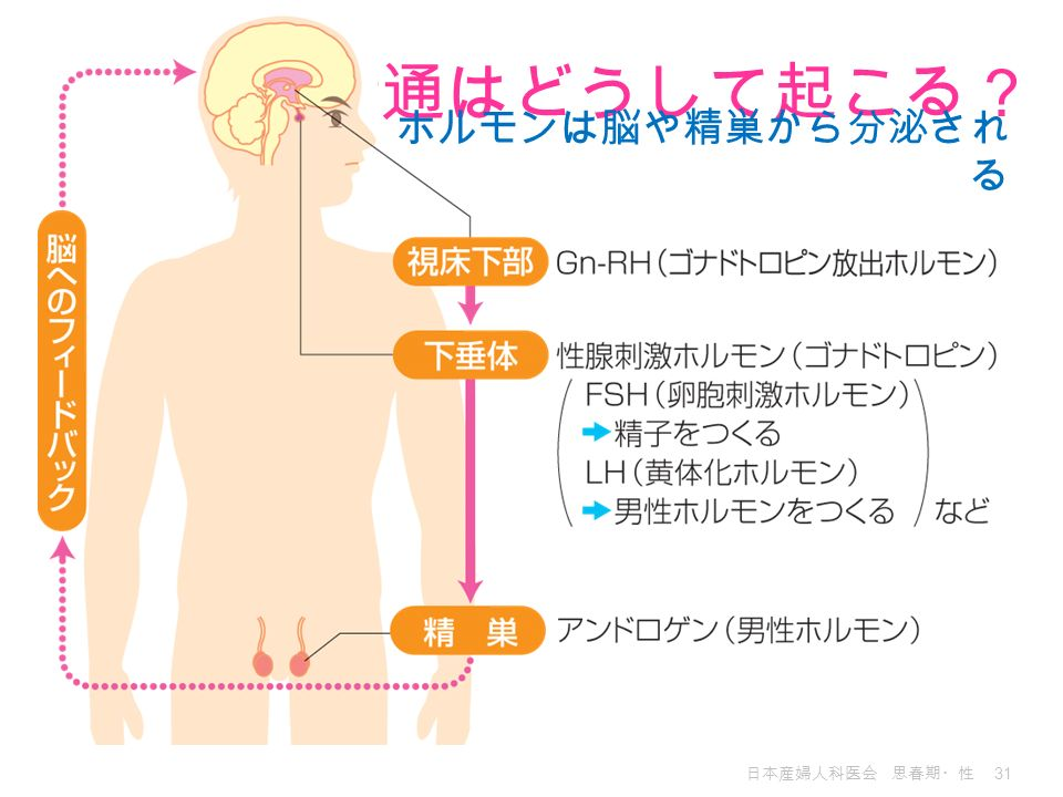 精通はどうして起こる? ホルモンは脳や精巣から分泌される