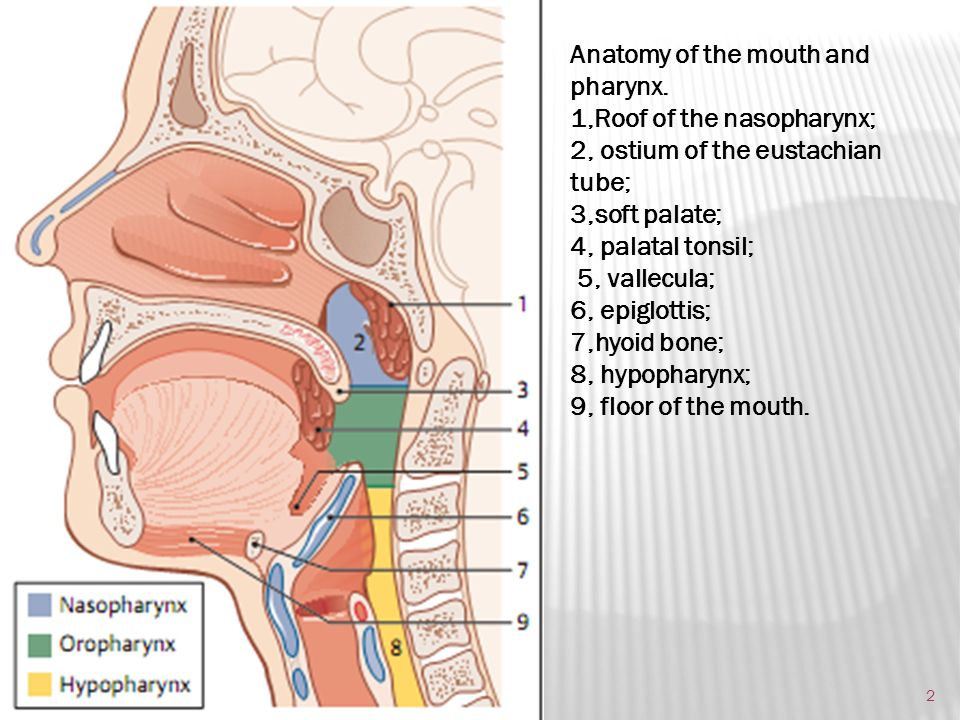 Oral Cavity Basic Anatomy Ppt Download